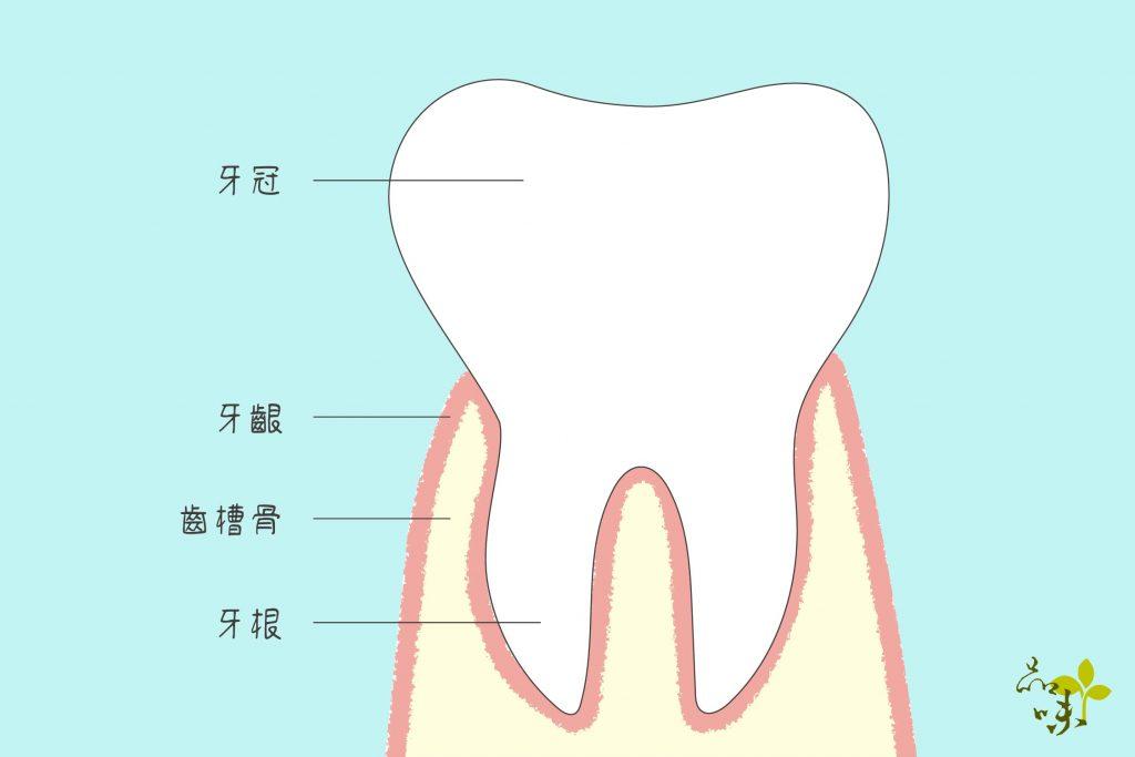 牙齦包覆住齒槽骨