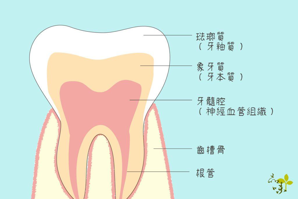 牙齒構造和根管位置