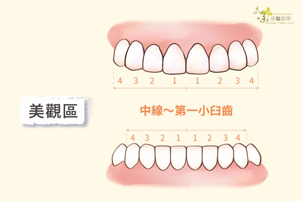 上下顎前牙各八顆